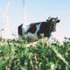 Milchviehbetrieb in Mecklenburg-Vorpommern Brandenburg evers landmakler