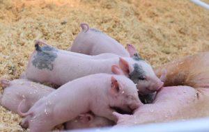 schweinemastanlage bundesweit gesucht 10000 plaetze evers landmakler